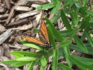 Mayfield Monarch Waystation - August 2016